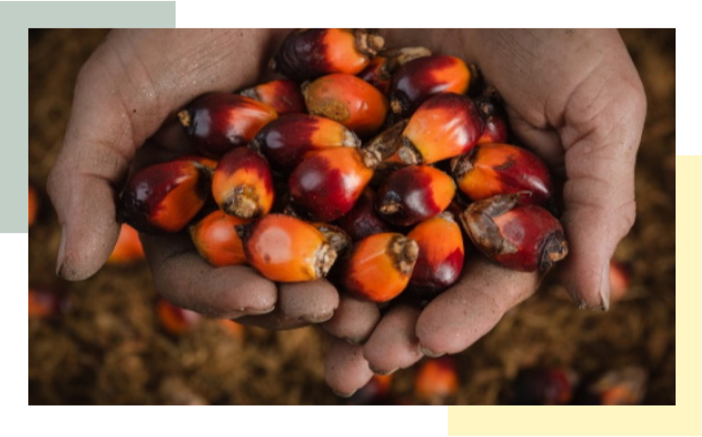 Two hands holding out palm oil kernels