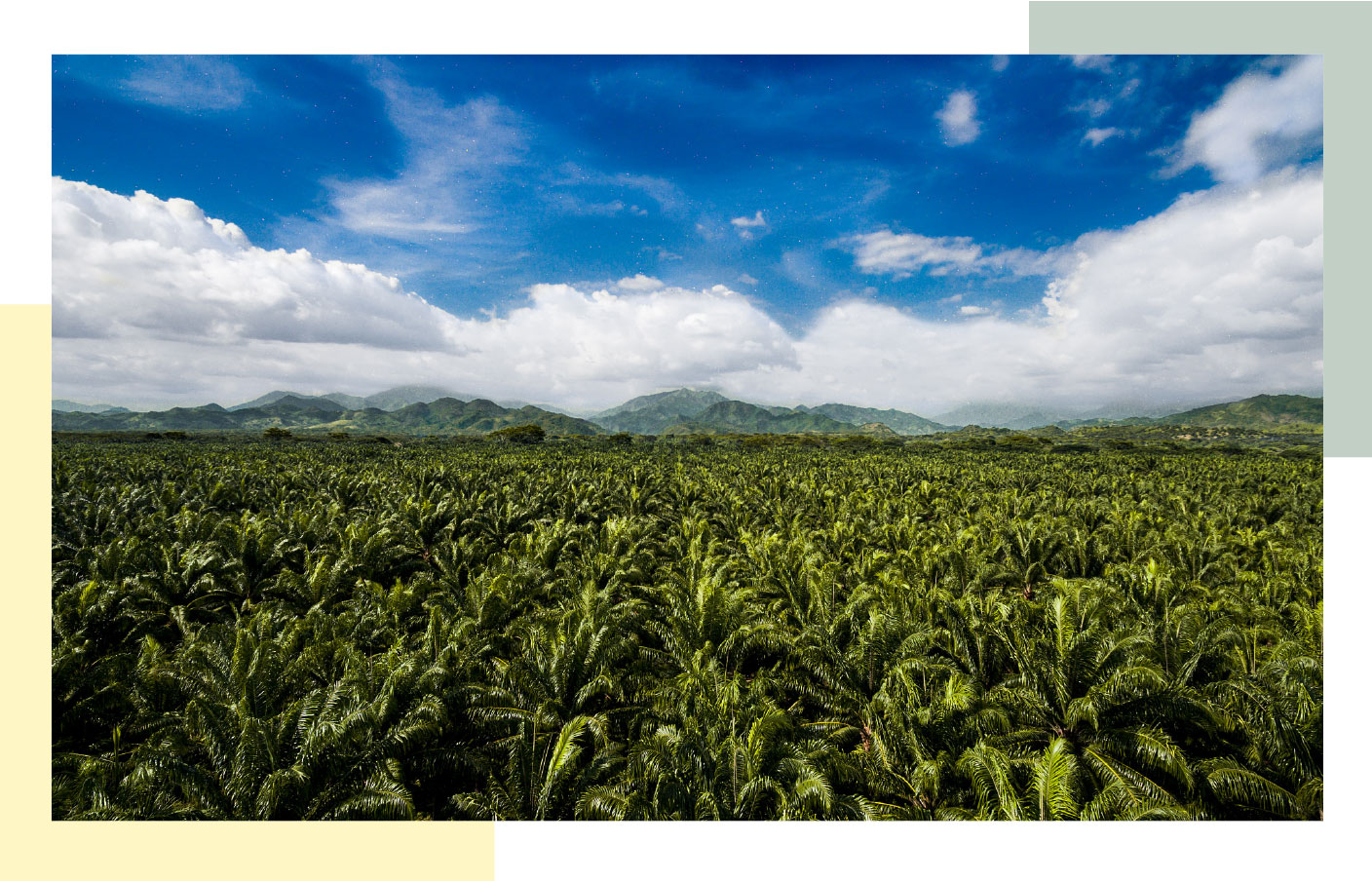 Palm oil tree field with blue sky in the background